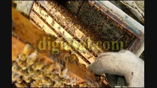 کشف علت جدید کاهش جمعیت زنبورهای عسل