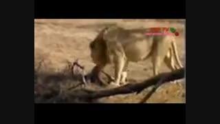 یوزپلنگ مقابل شیر