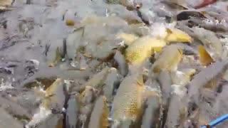 پرورش متراکم ماهی کپور = حداکثر بهره برداری از حداقل امکانات ونتیجه درامد بالا و خدمت به تولید