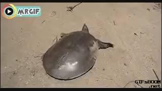 یک عمر این لاکپشت ها سرکارمون گذاشته بودن :) سرعتو ببین !