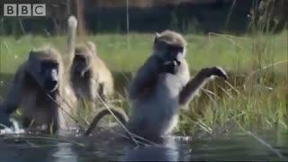 مهاجرت میمون ها از میان رودخانه