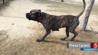 10 تا از بزرگترین سگهای نژاد Mastiff