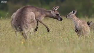 بوکسورهای طبیعت هر چند تو بوکس کانگوروها لگد هم مجازه