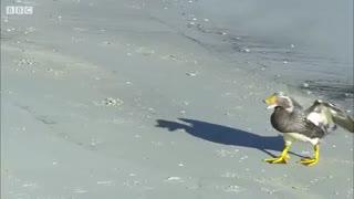 شکارچیان بچه پنگوئن ها در اولین روز شنا