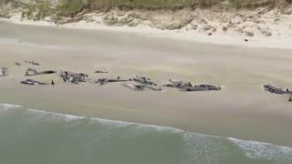 کشف 140 نهنگ مرده در ساحل نیوزلند و سردرگمی دانشمندان
