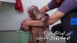 اندونزی؛ بچه اورانگوتان و لذت حمام