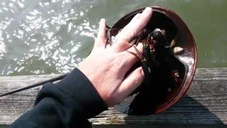 بازی با خرچنگ نعل اسبی