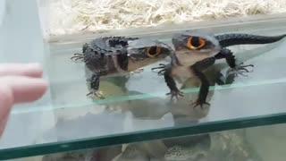 مارمولکی به نام crocodile skink