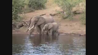 درگیر شدن فیل و تمساح