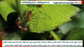همکاری جالب مورچه ها و مورچه ملکه!!