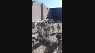 فروش شترمرغ 2 ماهه( اریا منتخب پارسیان)09131007689