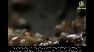 تپه های عظیم موریانه - بزرگترین ملکه موریانه