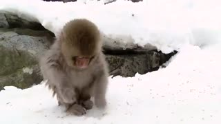 استخر آب گرم میمون های کوهستانی ژاپن