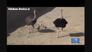 پرورش شترمرغ در یزد