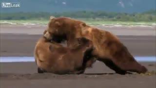 درگیری 2 خرس گریزلی
