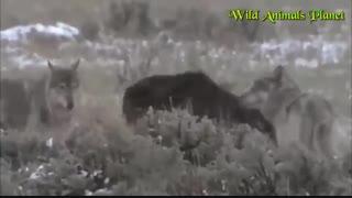 نبرد 3 گرگ با یک خرس مادر به همراه توله اش