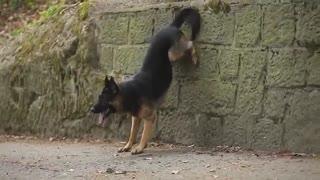 سگ ژرمن شپرد - هاپ میو