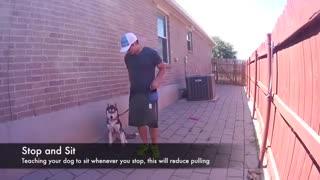 سگ هاسکی سیبرین - هاپ میو