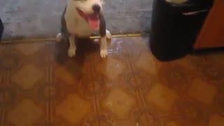 بازی با سگ پیت بول - هاپ میو