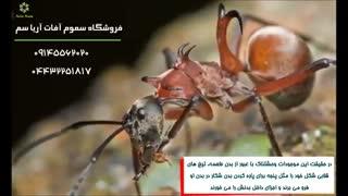 تحقیقات اخیر حیرت انگیز درباره مورچه های عسلی