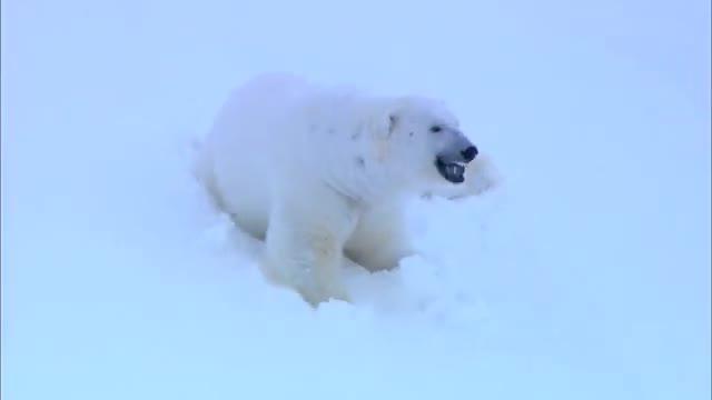 بازیگوشی خرس قطبی ماده