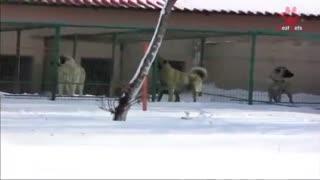 سک کنگال بزرگترین و بهترین سگ نگهبان - هاپ میو