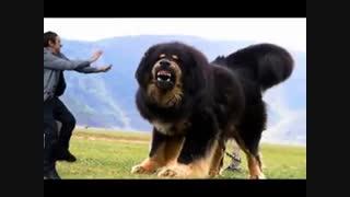 بزرگترین سگ دنیا - هاپ میو