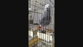 طوطی قران خوان