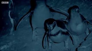 حمله خفاش خونخوار به پنگوئن ها