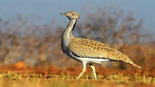 انقراض پرنده ۲۰ میلیون تومانی در کویرهای ایران