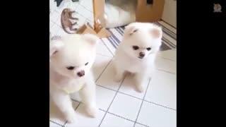 سگ پامرانین یک سگ خانگی زیبا - هاپ میو