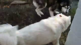 سگ هاسکی سیبرین و سگ مالاموت آلاسکا - هاپ میو