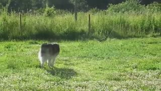 ویدیوئی زیبا از لحظه شکار سگ هاسکی - هاپ میو