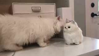 گربه پرشین بانمک - هاپ میو