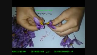 آموزش رایگان جداسازی رشته های زعفران از گل زعفران