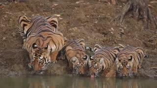 خانواده ببر زیبا در حال آب خوردن از رودخانه