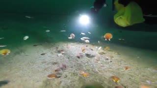 شنای صدف ها