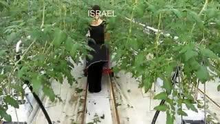 کشت و پرورش گوجه فرنگی به شکل مدرن در اروپا
