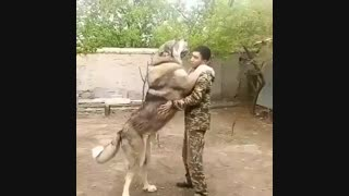 سگ پشدر بزرگ - هاپ میو