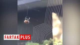 ویدئویی جالب از تنیدن تار توسط عنکبوت