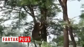 شکار آهو توسط پلنگ پرند