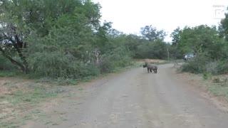 بازیگوشی بچه کرگدن در مسیر سافاری