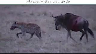 زنده خواری گوزن توسط کفتار