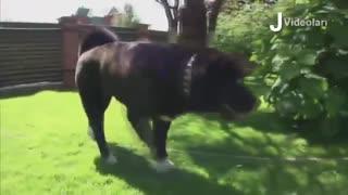 10 قویترین نژاد سگ آمریکایی!