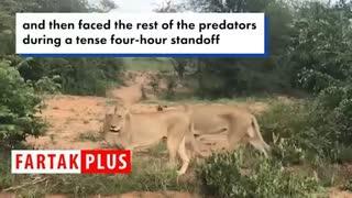 حمله شیرهای گرسنه به یک زرافه