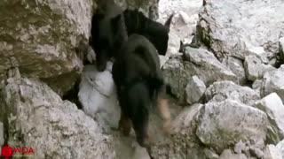 جنگ خرس مادر با سگها