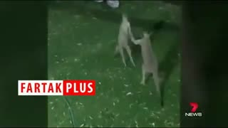 دعوای جالب کانگوروها به سبک بوکسورها
