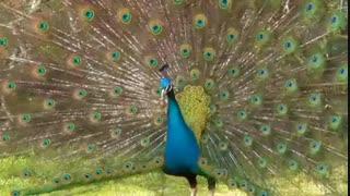 آواز طاووس که یک پرنده ای بسار زیباست
