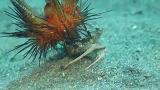 سواری گرفتن توتیای دریایی از خرچنگ
