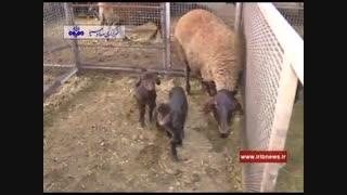 گوسفند چند قلوزا از نژاد افشاری